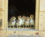 Câu chuyện thống kê những chú gà, Phần 1